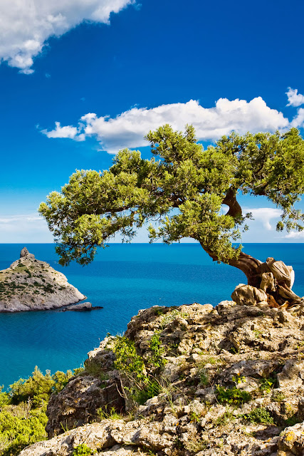 Сосна на скале, море, Крым