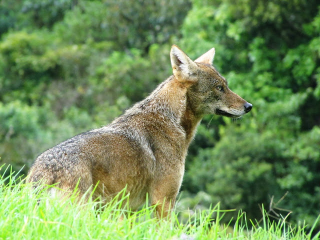 coyote on a farm in vara blanca costa rica