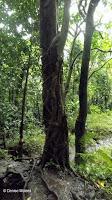 Vine-choked tree, Waihee trail - Kaneohe, Oahu, HI
