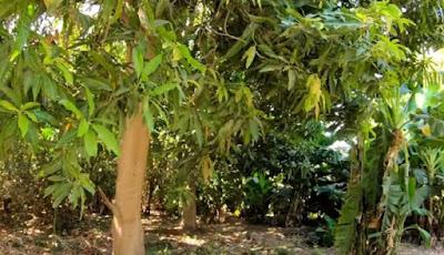 Pohon rindang di Arab Saudi
