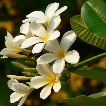 चमेली, Spanish Jasmine Flowers Name In Marathi