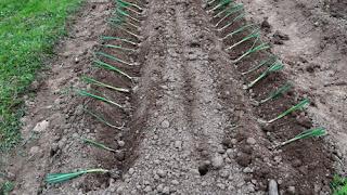 Comment r ussir la culture du poireau bio le jardin potager bio - Comment planter des poireaux ...