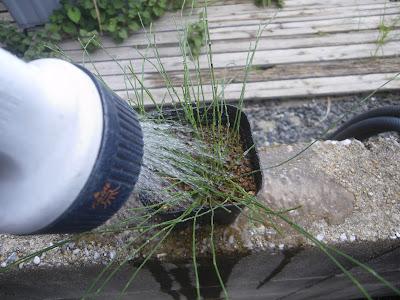 植え付け 水遣り