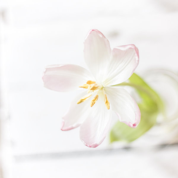 welkende Tulpe