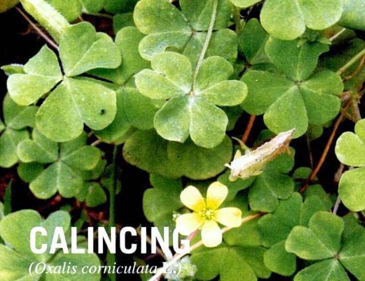 tanaman calincing