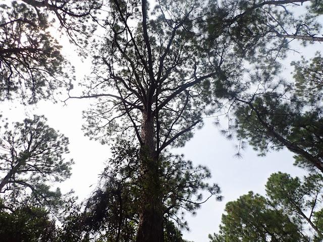 Pinus elliottii