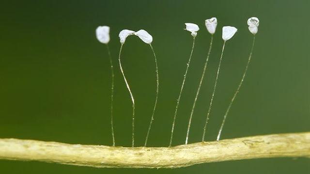 udumbara bunga 3000 tahun