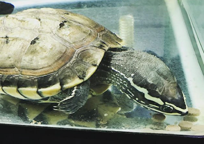 Makanan Malayan Snail Eater Turtle