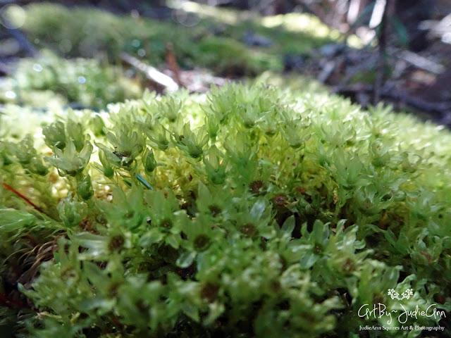 Badge Moss Photos (Plagiomnium insigne)