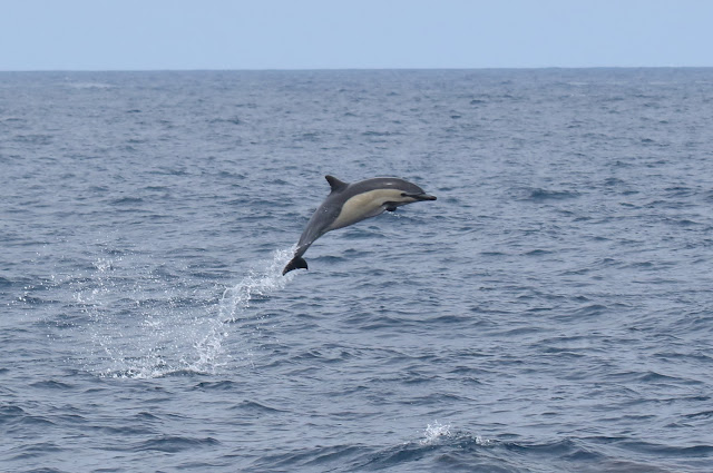 Common Dolphin leaps from the water