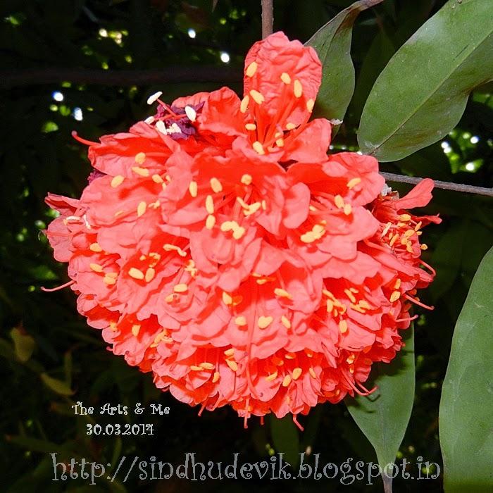 Lal Zumbar or Brownea Coccinea Flower Cluster