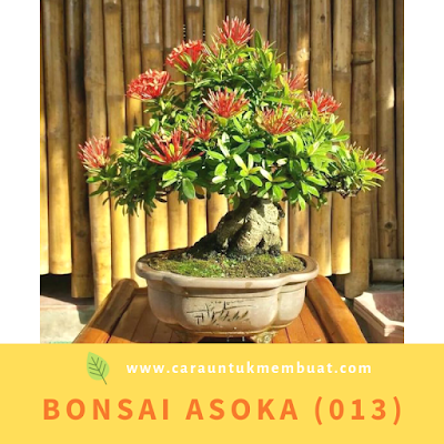 Bonsai Asoka (013)