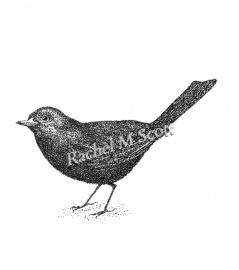Blackbird stipple illustration by Rachel M Scott