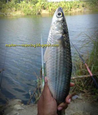Umpan Mancing Belanak, Resep Jitu Pemancing Ampuh