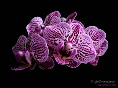 Orquídea Phalaenopsis híbrida
