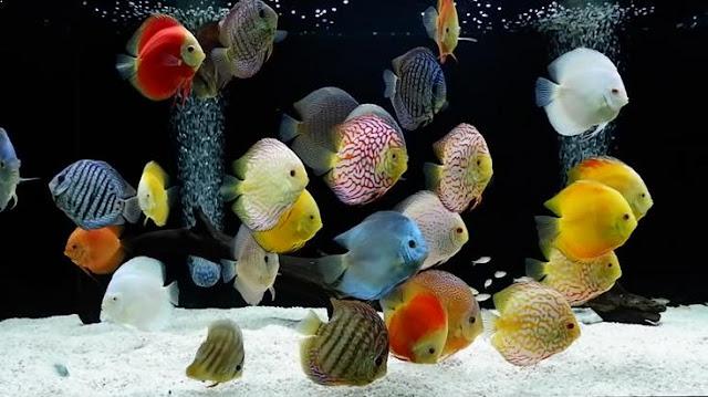 Harga Ikan Discus Terbaru 2020