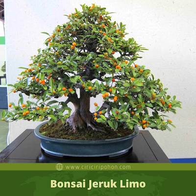 Bonsai Jeruk Limo