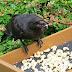 Τάιζε κοράκια στον κήπο της για χρόνια: Ποτέ δεν φανταζόταν τη συνέχεια (pics)