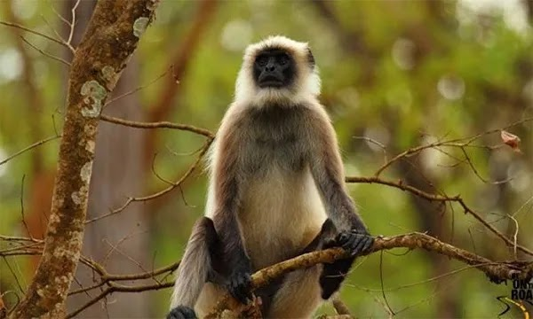 An Autopsy of a Langur Killed by Residents in Nagarparkar