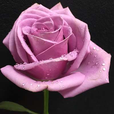Lavender Rose with water drops at Stein Your Florist Co.