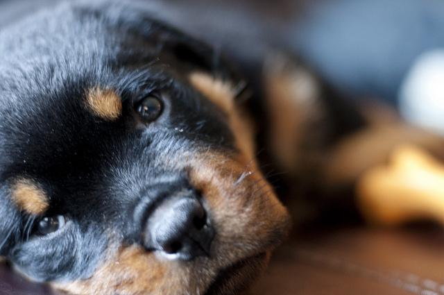 Cómo reconocer los síntomas de la panosteitis en los cachorros