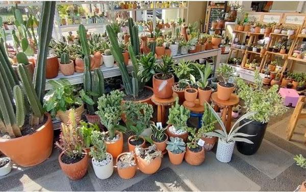 Ngulik Bisnis Kaktus Hias Mini Menggemaskan ala KaktusQuLucu