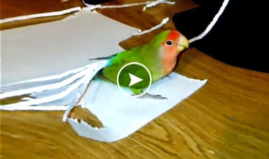 Lovebird Makingup its Own Tail with Paper Pieces