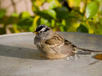 Photo of White-crowned Sparrow in a bird bath