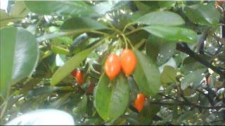 gambar buah sawo kecik
