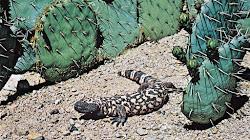 Bảy loài Thằn lằn và Rùa nguy hiểm nhất hành tinh