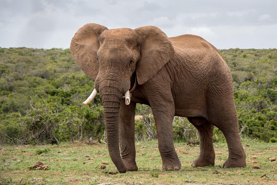fakta tentang gajah