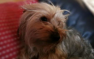 Yorkie boy for adoption in Gauteng