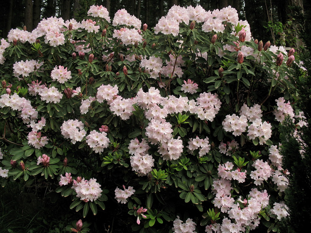 Rhododendron Decorum Great White Rhododendron Care And Culture
