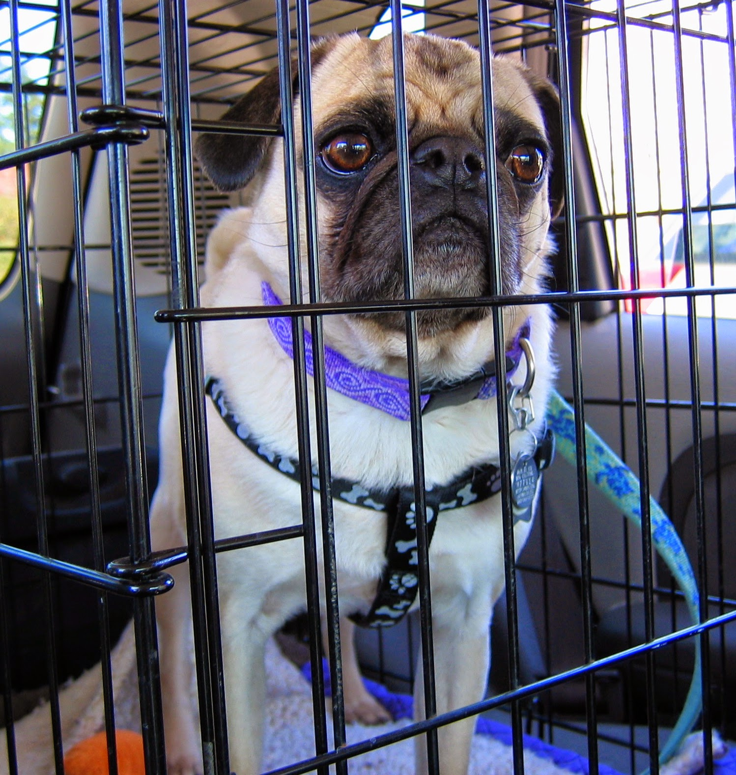 Liam the pug in his kennel
