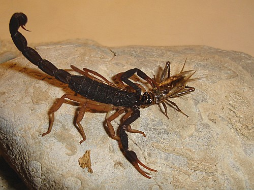 scorpion feasting on a cricket