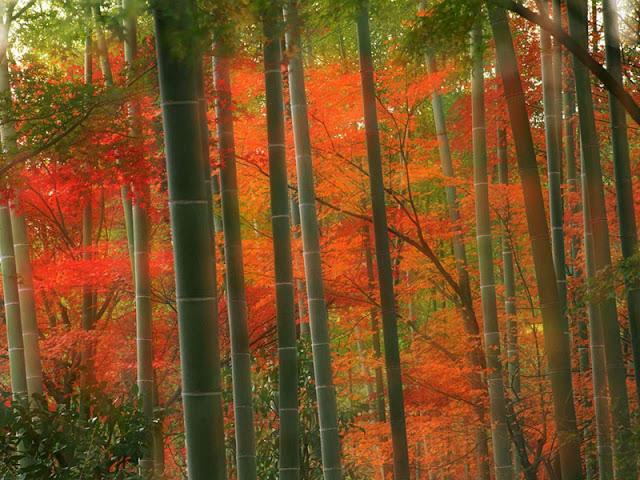 Bamboo Forest at Arashiyama Park