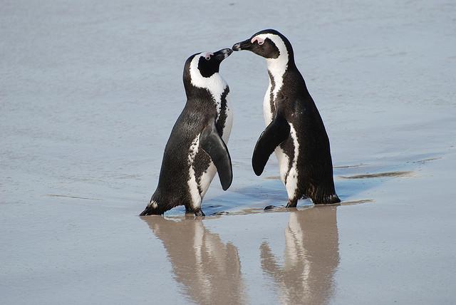pinguini Cape Town Sudafrica