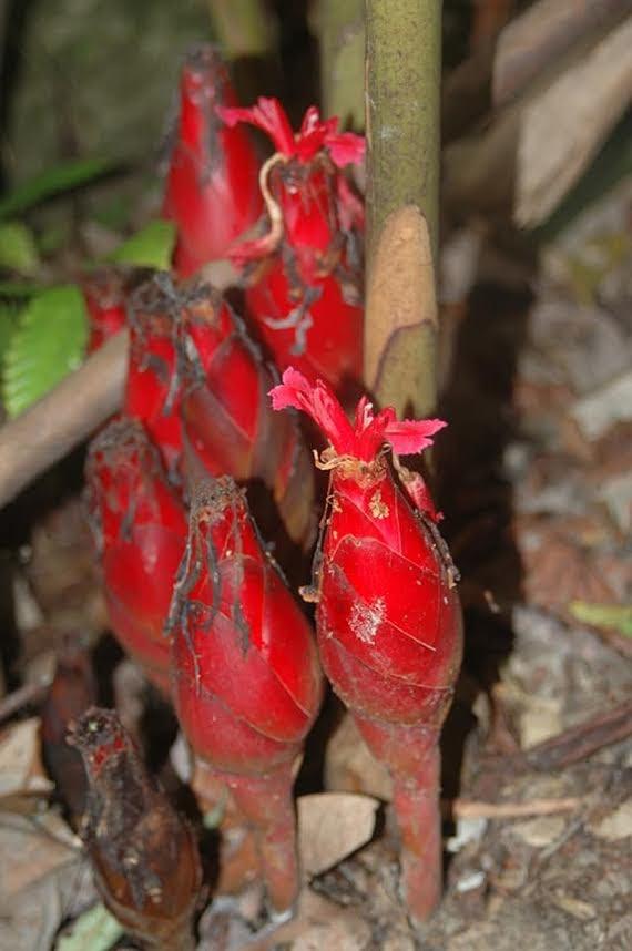 Hornstedtia bella