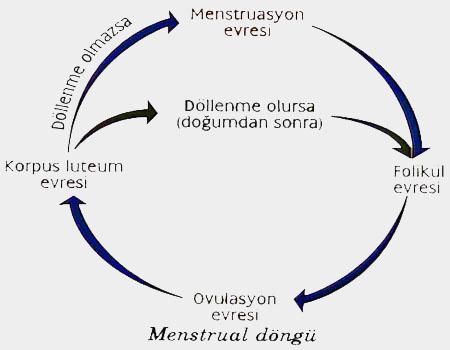 Menstrüasyonun gerçekleşmesinden sonra ne zaman gelir