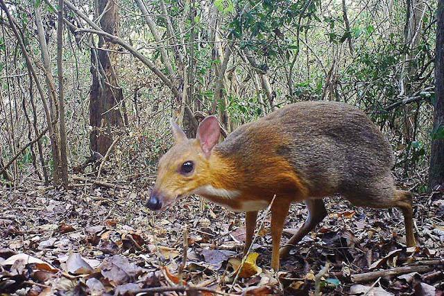 Tìm thấy loài Chao Cheo Việt Nam sau 30 năm biến mất