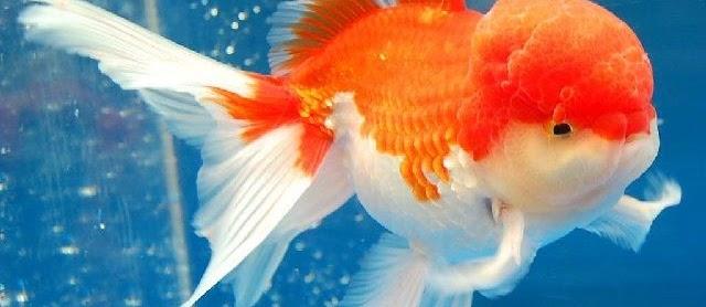 Ikan Mas Koki Oranda untuk Kontes Harga Murah