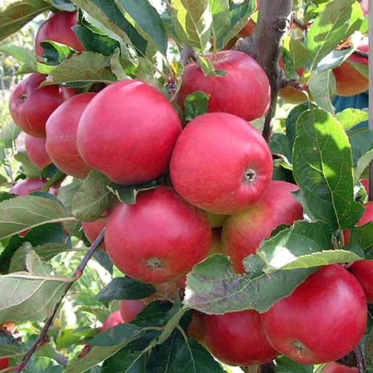 Bibit Pohon Apel Anna Merah Cepat Berbuah murah dan terlaris Tegal