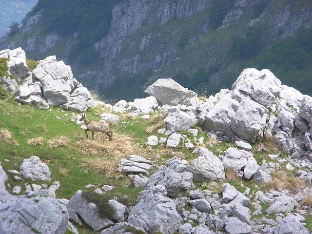 Camoscio nei pressi di Passo Cavuto