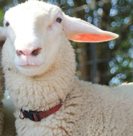 East Friesian Sheep Origin, Weight, Milk, Meat & Wool Quality, Cost