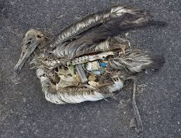 Plastic material in the stomach causes many marine organisms to die