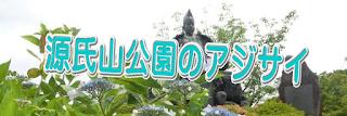 源氏山公園のアジサイ