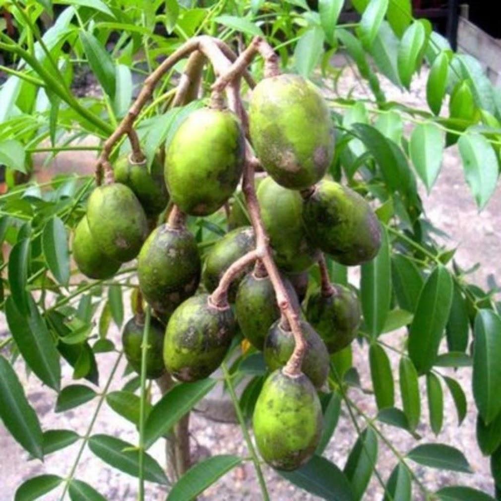 bibit tanaman buah kedondong mini unggul Kalimantan Selatan