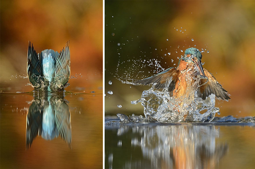 the perfect shot of kingfisher when catch the fish