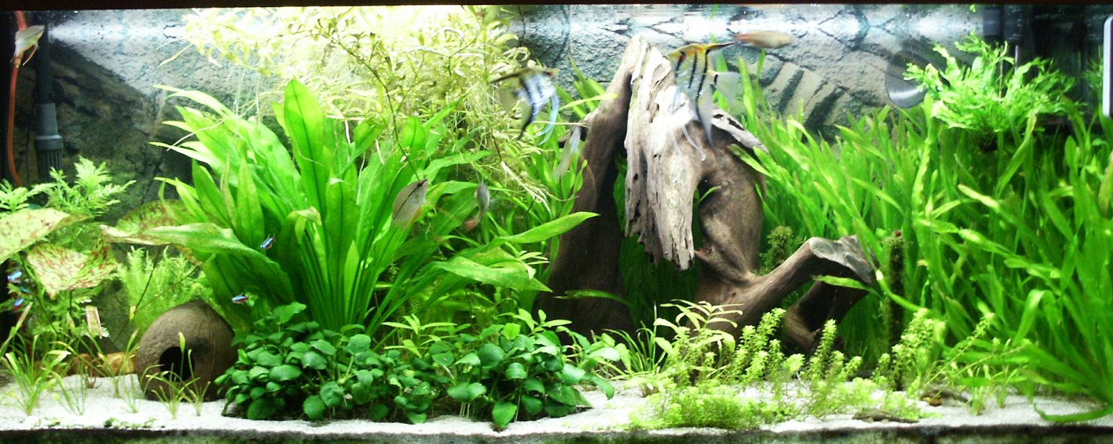 hồ thủy sinh trồng trầu bà làm tiền cảnh
