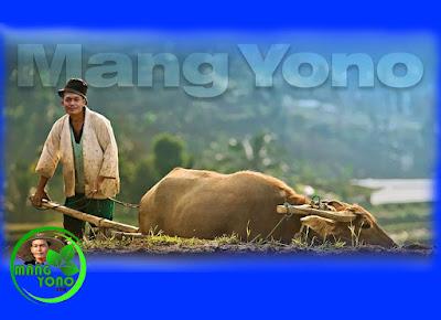 Cara mengolah tanah yang akan ditanami padi dengan menggunakan Kerbau secara tradisional.